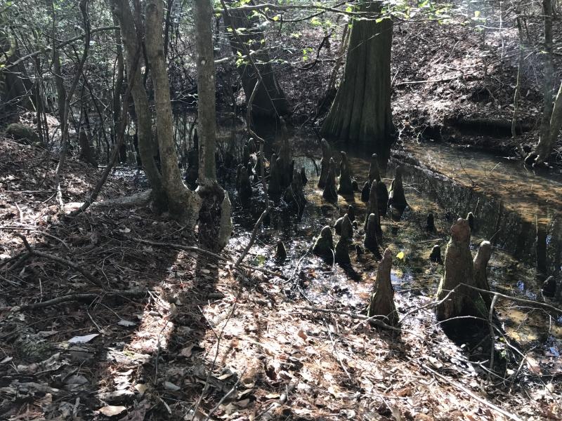 The Pocomoke Forest